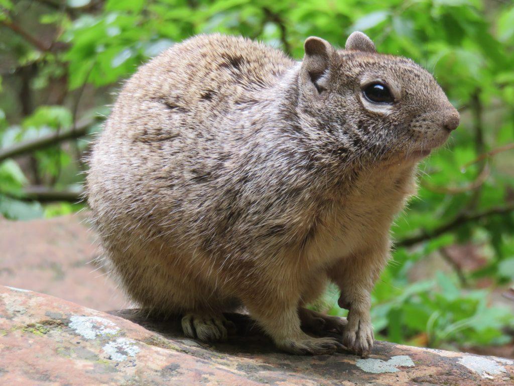 Squirrel in Zion