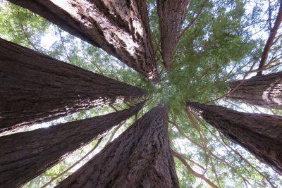 Zijn dit de hoogste bomen?